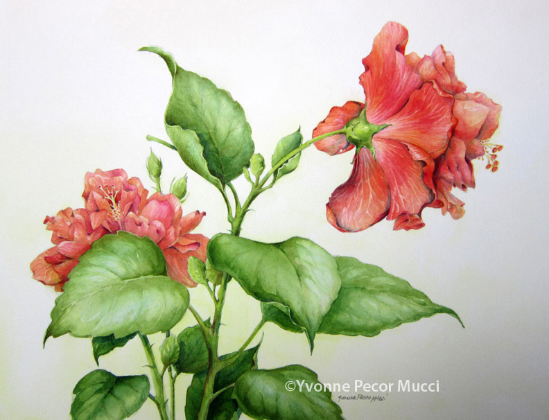 Hibiscus Study Watercolor (16 x 20 Framed) by Yvonne Pecor Mucci