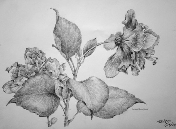 Hibiscus Flower Study by Yvonne Pecor Mucci
