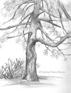 Graphite Pine Sketch